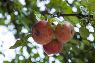 Apples growing on a tree - TCF05964
