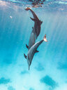 3 dolphins play in the water - INGF06957