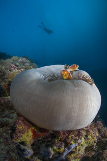 Palau, Clownfishes and sea anemone - TOVF00111