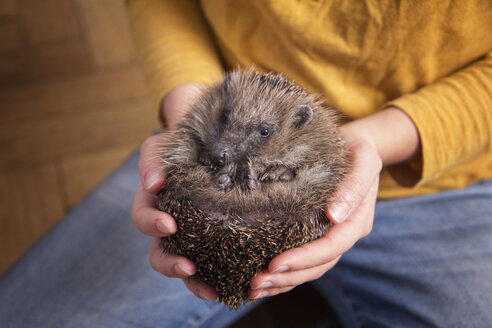 Woman's hands holding rolled up hedgehog - MAMF00218