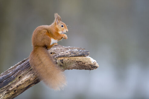 Portrait of eating Eurasian red squirrel crouching on tree trunk in winter - MJOF01611