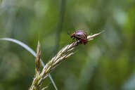 Close-up of insect on cereal plant - CAVF54656