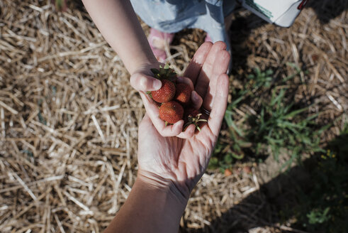 Cropped image of daughter giving strawberries to mother at farm - CAVF54677