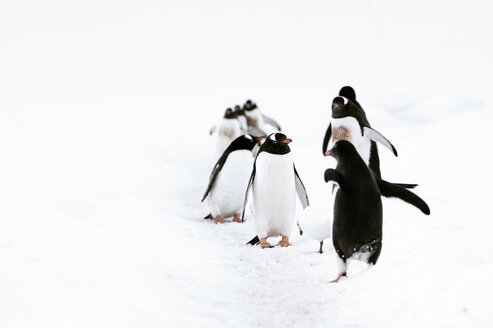 Penguins standing on snow covered field - CAVF54911