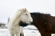 Icelandic Horses standing on snowy field during winter - CAVF54920
