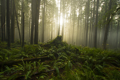 Trees growing in forest during foggy weather at North Cascades National Park - CAVF55518