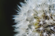 Close-up of dandelion seed against black background - CAVF55704