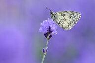 Marbled White sitting on Lavender, Bavaria, Germany. - RUEF02022