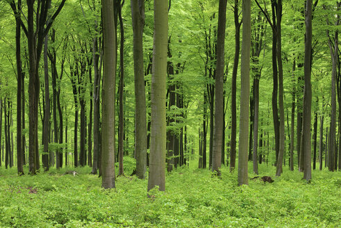 Vital green forest in spring. Westerwald, Rhineland-Palatinate, Germany - RUEF02034