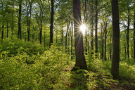 Vital green forest in spring with sun and sunbeams, Westerwald, Rhineland-Palatinate, Germany - RUEF02037