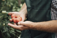 Gardener in greenhouse, hand holding tomatoes - VPIF01105