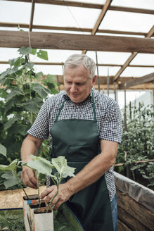 Mature man, gardener in greenhouse, looking at plants - VPIF01108