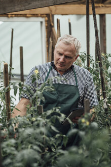 Gardener in greenhouse looking at tomato plants - VPIF01114