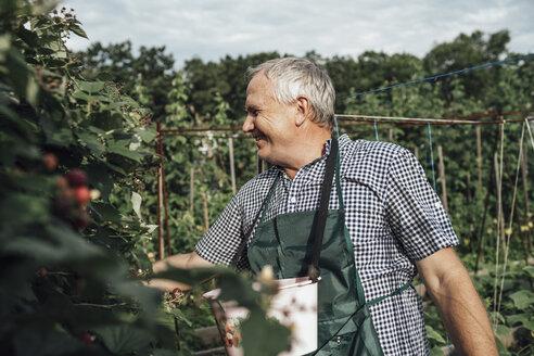 Gardener harvesting berries in garden - VPIF01117