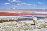 Bolivia, Laguna Colorada, llama standing at lakeshore - SSCF00035