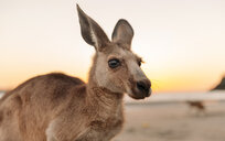 Australia, Queensland, Mackay, Cape Hillsborough National Park, portrait of kangaroo on the beach at sunrise - GEMF02543