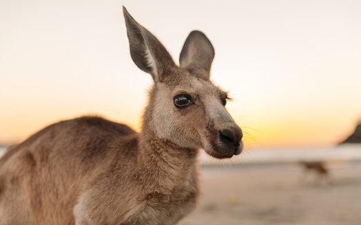 Australia, Queensland, Mackay, Cape Hillsborough National Park, portrait of kangaroo on the beach at sunrise - GEMF02543