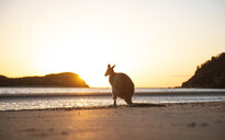 Australia, Queensland, Mackay, Cape Hillsborough National Park, back view of wallaby on the beach at sunrise - GEMF02549