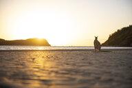 Australia, Queensland, Mackay, Cape Hillsborough National Park, kangaroo on the beach at sunrise - GEMF02552