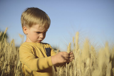 Cute boy looking at ear of wheat while standing on field - CAVF55920