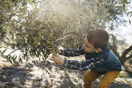 Boy picking olives from tree - JRFF02116