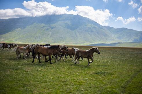 Italy, Umbria, Sibillini National Park, Horses on plateau Piano Grande di Castelluccio di Norcia - LOMF00760