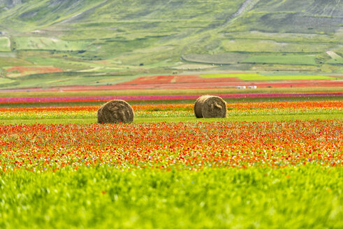 Italy, Umbria, Sibillini National Park, Blooming lentils and flowers on Piano Grande di Castelluccio di Norcia - LOMF00766