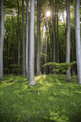 Germany, Mecklenburg-Western Pomerania, Ruegen, Jasmund National Park, Beech forest - MAMF00249
