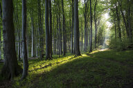 Germany, Mecklenburg-Western Pomerania, Ruegen, Jasmund National Park, Beech forest - MAMF00252