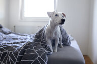 Portrait of dog sitting on bed at home - ZEDF01776