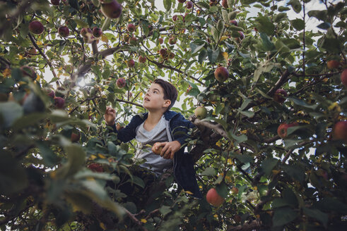 Boy sitting on apple tree in orchard - CAVF56043
