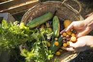 Cropped hands of man putting yellow cherry tomatoes in basket at community garden - CAVF56244