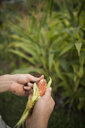 Cropped hands of man husking corn at community garden - CAVF56271