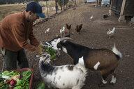 Man feeding goats - CAVF56424