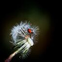 Close-up wildlife shot of a ladybug on a dandelion flower - INGF07818