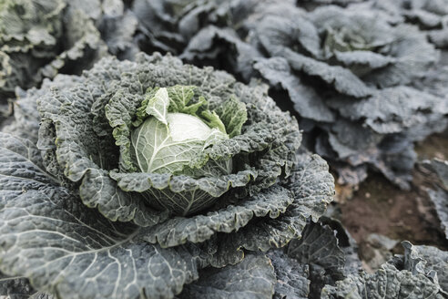 Close-up of savoy cabbage on a field - KMKF00674