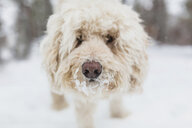 Close-up portrait of dog standing on snow covered field - CAVF56637