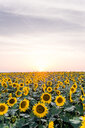 Sunflowers blooming in a field during a beautiful sunset - INGF07898