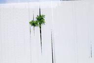 A green plant creeping through a white wall - INGF08039