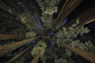 Low angle view of trees in Jedediah Smith Redwoods State Park during dusk - CAVF57250