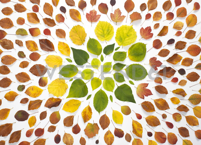 Autumn leaves on white background - ABRF00255 - Andrew Brookes/Westend61