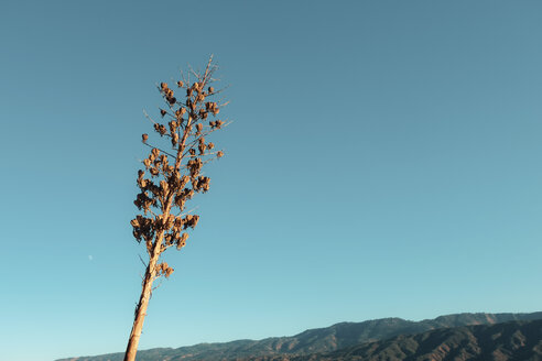 USA, California, Ojai, dry tree, copy space - SEEF00043