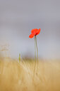 Beautiful close-up shot of a red poppy flower in a field - INGF08105