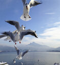 Gull flying at a lake - WWF04528