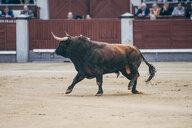 Bullfighting, bull in arena - OCM00143