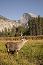 USA, California, Yosemite National Park, deer on a field with El Capitan in background - KKAF03061