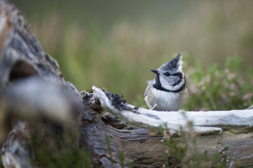 Crested tit - MJOF01619