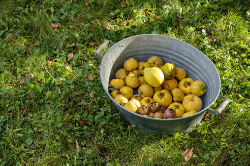Zinc tub with harvested quinces and medlars on a meadow - LBF02287