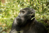 Chimpanzee looking away while sitting amidst plants in forest - CAVF58219