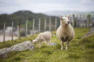 Sheep on field against sky - CAVF58452